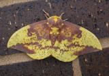 7704 - Eacles imperialis; Imperial Moth; male