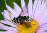 Sericomyia militaris; Syrphid Fly species