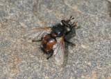 Peleteria Tachinid Fly species