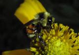 Bombus huntii; Hunt's Bumble Bee