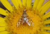 Poecilognathus Bee Fly species
