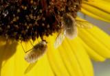Systoechus Bee Fly species
