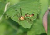 Ctenophora nubecula; Large Crane Fly species