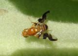 Rhagoletis suavis; Walnut Husk Fly