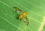 Strauzia Fruit Fly species