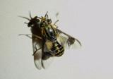 Chrysops callidus; Deer Fly species