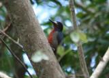 Puerto Rican Woodpecker; Endemic