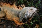 Iguana; exotic