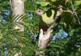 Puerto Rican Lizard Cuckoo; Endemic