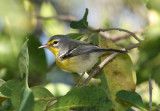 Adelaide's Warbler; Endemic