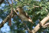 Yellow-crowned Bishop; basic plumage; exotic