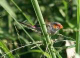 Orange-cheeked Waxbill; exotic