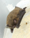 Little Brown Myotis (Myotis lucifugus)