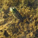 Mink Frog (Rana septentrionalis)