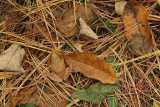 Spring Peeper camouflaged
