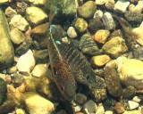 Longear Sunfish (Lepomis megalotis) spawning