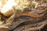 Desert Side-blotched Lizard (Uta stansburiana)