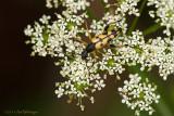 Strangalia maculata / Gevlekte Smalbok / Longhorn beetle