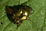 Cetonia aurata / Gouden tor / rose chafer