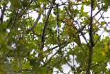 Wielewaal / Eurasian Golden Oriole