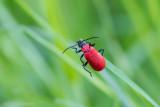 Pyrochroa coccinea / Zwartkopvuurkever / Black Headed Cardinal Beetle