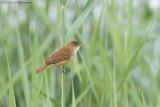 Kleine Karekiet / Reed Warbler