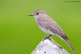 Grauwe Vliegenvanger /  Spotted Flycatcher