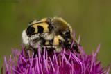 Trichius fasciatus / Penseelkever / Bee beetle