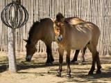 Przewalski's wild horse (Mongolia)