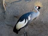 Crowned Crane -- Africa