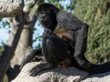 Spider Monkey -- tropical forests central and south America
