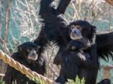 Siamang (an ape, type of Gibbon, SE Asia)