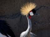 Crowned Crane - Africa