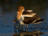 American Avocet and Chicks