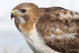 red-tailed hawk 314