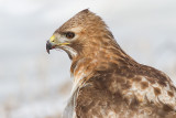 red-tailed hawk 315