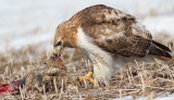 red-tailed hawk 316