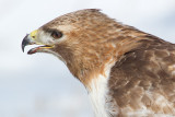 red-tailed hawk 317