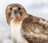 red-tailed hawk 318