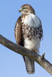 red-tailed hawk 319