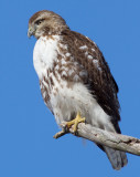 red-tailed hawk 320