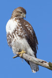 red-tailed hawk 321
