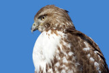 red-tailed hawk 322