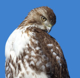 red-tailed hawk 323