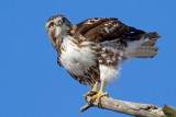red-tailed hawk 324