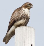 red-tailed hawk 325