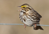 savannah sparrow 23