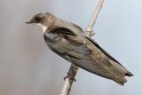 tree swallow 244
