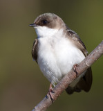 tree swallow 246