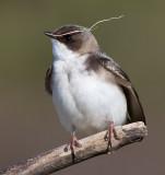 tree swallow 247